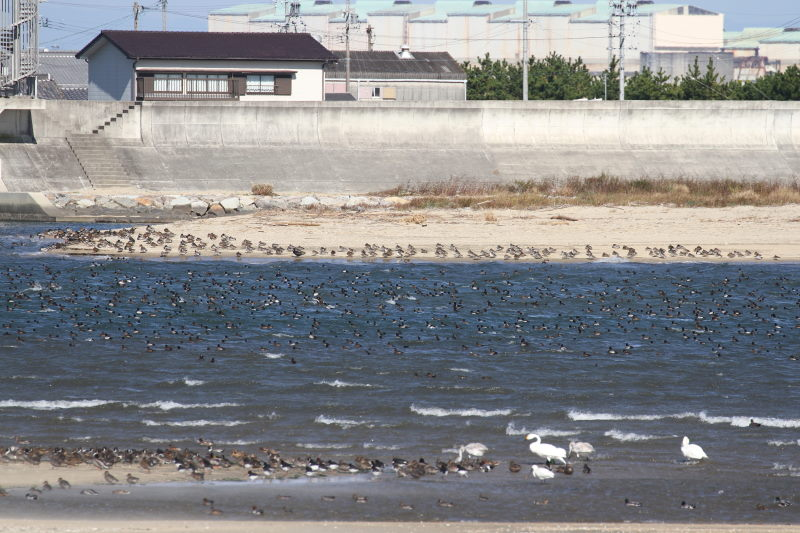 雲出川の水鳥たち(13態-1) 雲出川 三重県 2016/11/09 Photo by Manda (写真提供: 萬田)