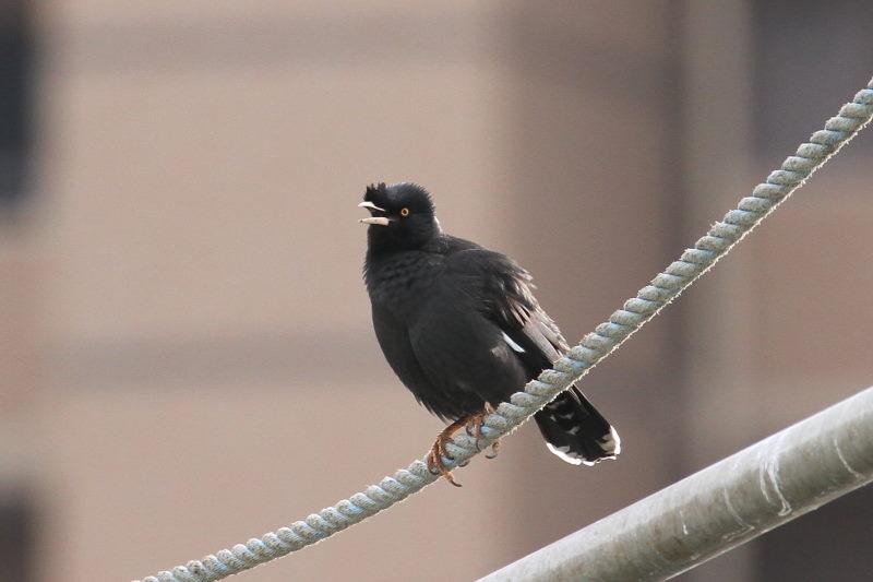 ハッカチョウ 成鳥(5態-1) 明石漁港 明石市 兵庫県 (写真提供: 萬田)