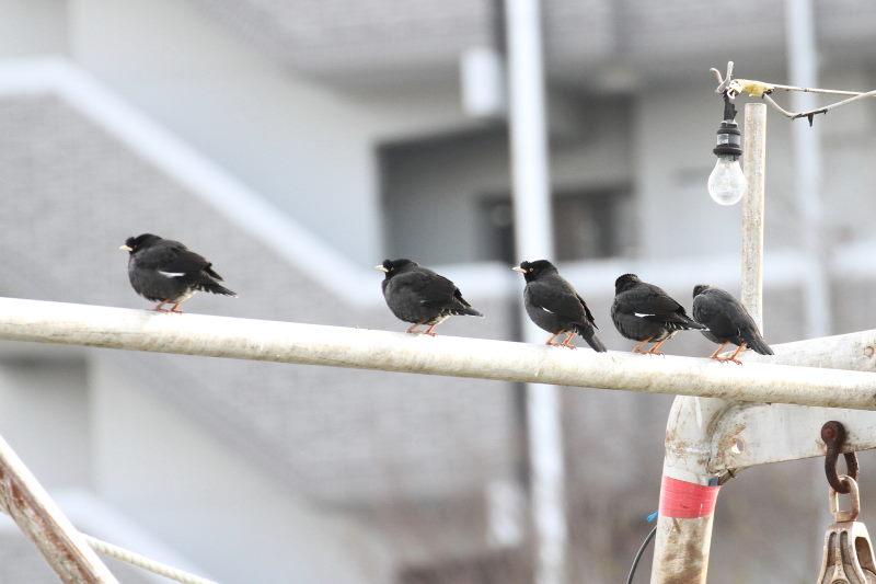 ハッカチョウ 成鳥(5態-3) 明石漁港 明石市 兵庫県 (写真提供: 萬田)
