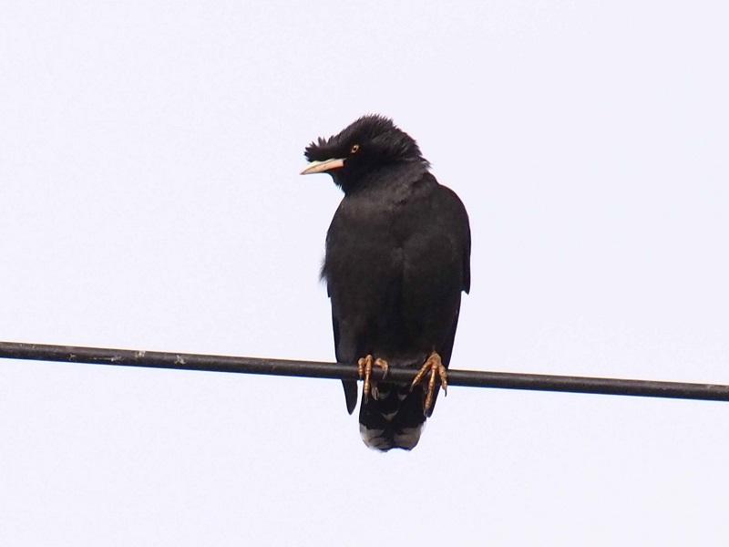 ハッカチョウ 成鳥(5態-4) 明石漁港 明石市 兵庫県 (写真提供: 長村)