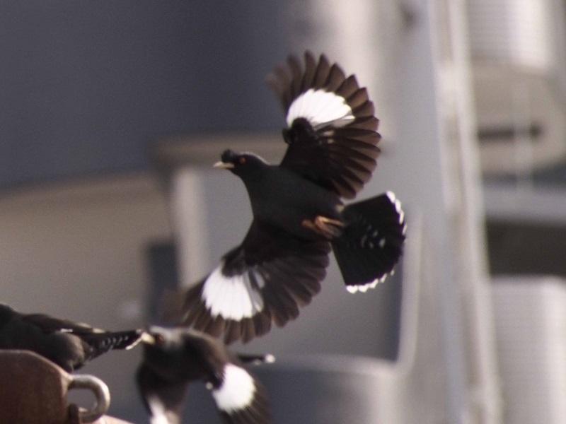 ハッカチョウ 成鳥(5態-5) 明石漁港 明石市 兵庫県 (写真提供: 長村)