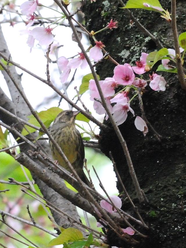 アオジ ♀(7態-4) さくら公園 八幡市 2017/04/18 Photo by Kohyuh