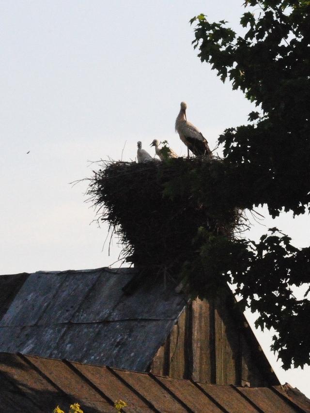 シュバシコウ(7態-7) ビヤウイストック近郊 ポーランド in the suburbs of Bialystok, Poland 2017/06/01-06/04 Photo by Kohyuh